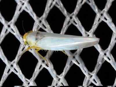subfamily Typhlocybinae