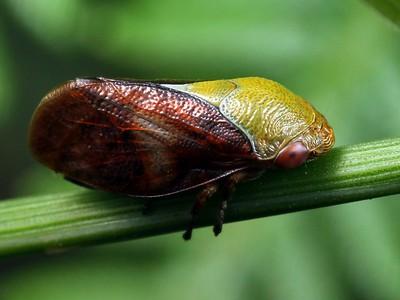 Clastopteridae