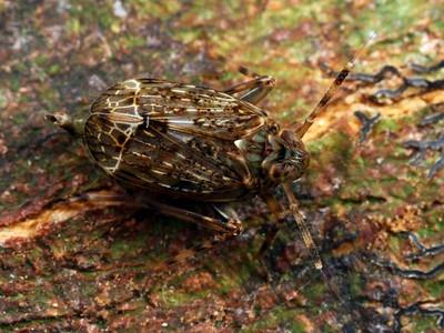 Delphacidae