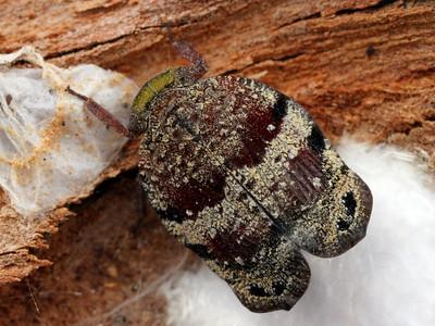 Eurybrachyidae
