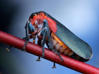Eurymelidae - Gumtree Hoppers