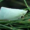 Colgar or Colgaroides sp.
