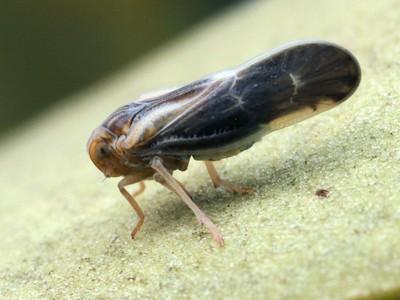 Meenoplidae