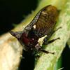 Acanthuchus or Eufairmairia sp.