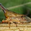 Aconophora compressa - Lantana Treehopper