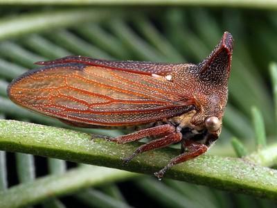 Membracidae - Horned Treehoppers