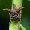 Acanthuchus trispinifer