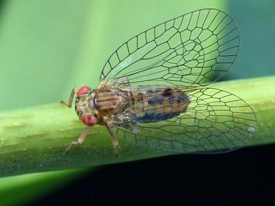 Tropiduchidae
