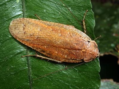 Cockroaches - order Blattodea