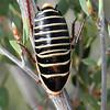 Zonioploca flavocincta - Sunset Desert Cockroach (female)
