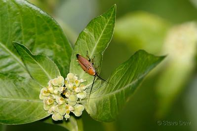 Austral Ellipsidion Cockroach