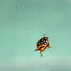 Laccophilus pictus