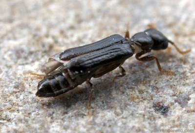Micromalthus debilis