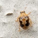 Psyllobora renifer
