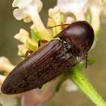 Diplostethus texanus