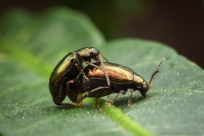 Chrysomelidae: Alticinae