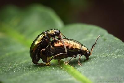 Chrysomelidae: Alticinae
