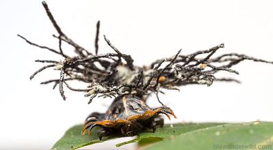 Chrysomelidae