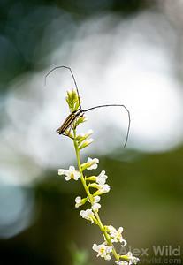 Sphaenothecus bilineatus