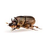 Onthophagus sagittarius