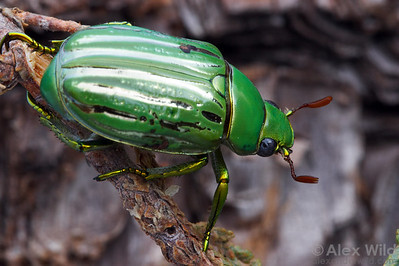Chrysina gloriosa - Glorius Beetle. Huachuca Mountains, Arizona, USA.  filename: gloriosa1