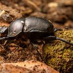 Scarabaeidae - Dung Beetle