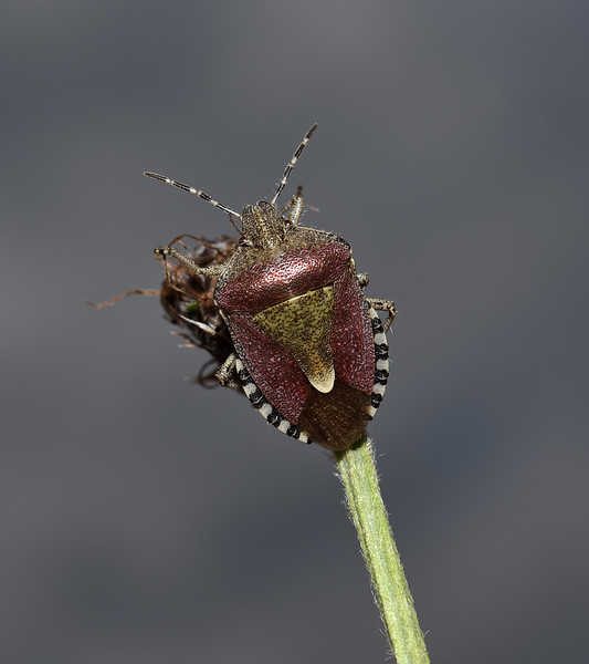 Sloe Shieldbug - Dolycoris baccarum, May