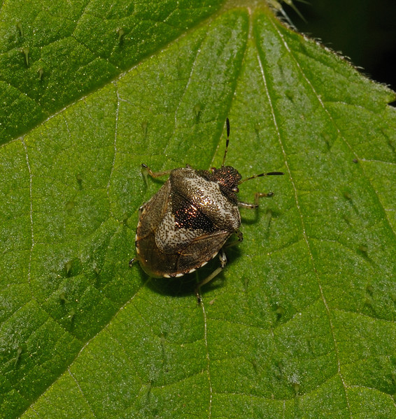Woundwort Shieldbug - Eysarcoris venustissimus, May