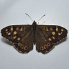 Speckled Wood, Cornwall, May