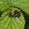 Cheilosia illustrata male, Cornwall, May