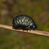 Timarcha tenebricosa larva, May
