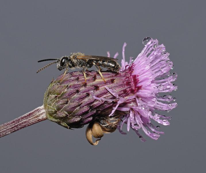 Lasioglossum calceatum, June