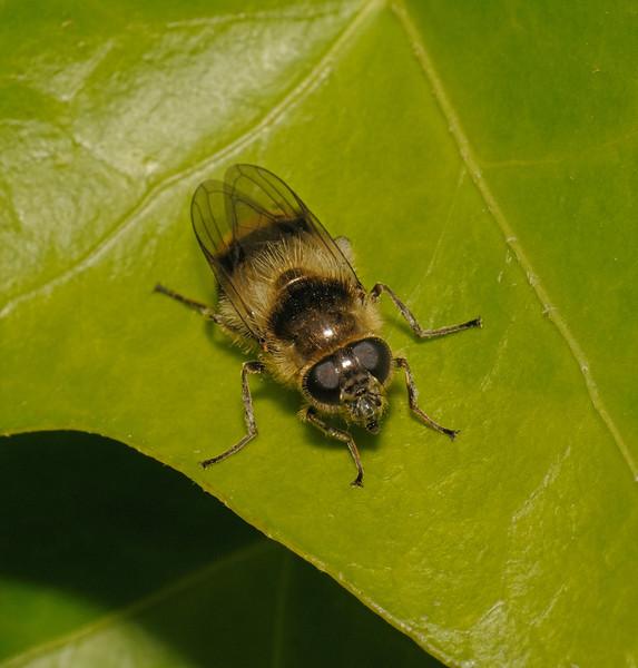 Cheilosia illustrata female, May