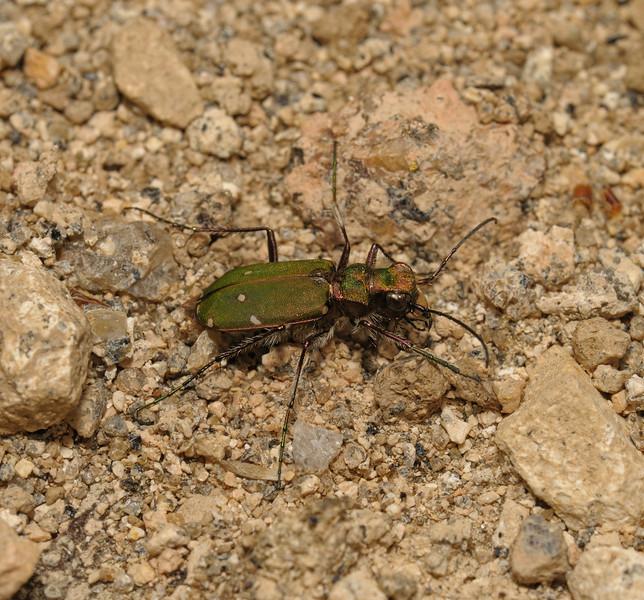 Green Tiger Beetle - Cicindela campestris, Devon, May