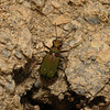 Green Tiger Beetle - Cicindela campestris, Devon, May