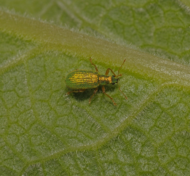 Phyllobius sp, Devon, May