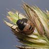Eurygaster testudinaria nymph, June