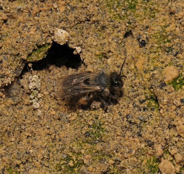 Andrena sp, Devon, May