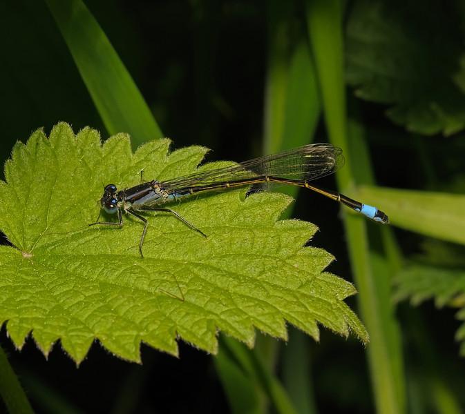 Blue-tailed Damselfly - Ischnura elegans, May