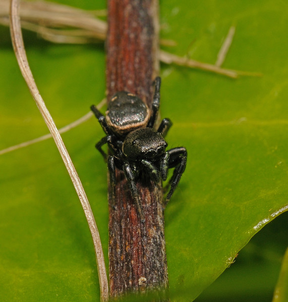 Heliophanus sp?, May