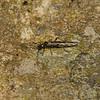 Stonefly, Devon, May