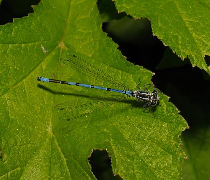 Azure Damselfly - Coenagrion puella, May
