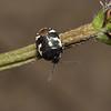 Pied Shieldbug - Tritomegas bicolor, Cornwall, May