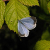 Holly Blue, May