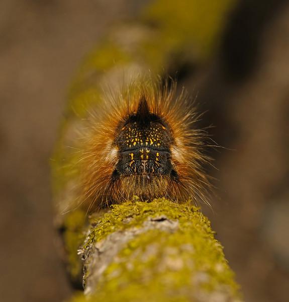 Drinker moth caterpillar, Devon, May