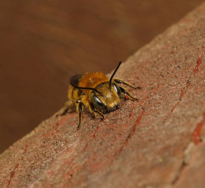 Osmia caerulescens/leaiana, May