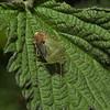Palomena prasina, Cornwall, May