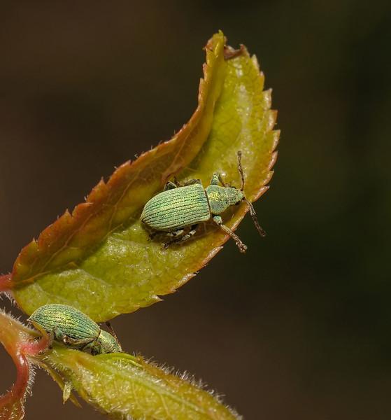 Polydrusus formosus, May