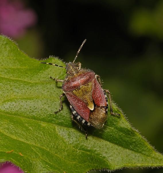 Sloe Shieldbug - Dolycoris baccarum, May