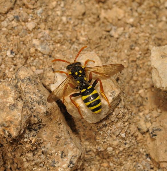Nomada goodeniana male, Devon, May